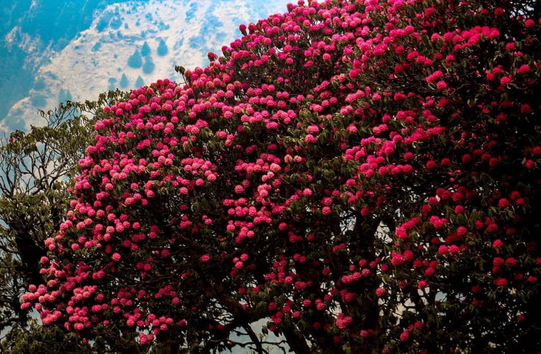 Plants of Nepal